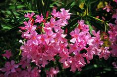 Oleandro fiorito, in una bellissima sfumatura di rosa