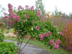 Pink Diamond Hydrangea Paniculata feet tall in trade gallon containers) for sale online Plants, Types Of Flowers, Panicle Hydrangea, Outdoor Gardens, Shrubs, Hydrangea Paniculata, Garden Planning, Pink Diamond Hydrangea, Flowering Trees
