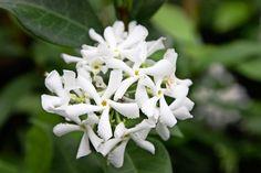 Jasmine Star, White Jasmine, Evergreen Climbing, Evergreen Vines, Plante Jasmin, Trachelospermum Jasminoides, Jasmine Plant, Gardens, Flowers