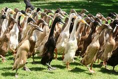 When I was about twenty I bought thirty Indian runner ducks. What fun they were. Whenever I called them with a little feed the whole lot would come running quaking up a storm.