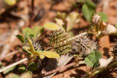 Tribulus Terrestris es una de las hierbas afrodisíacas preferidas para tratar los trastornos sexuales. Tribulus Terrestris ha sido utilizada para mejorar la energía, la resistencia y la función sexual.