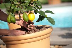 Le paillis - botanic® Stuffed Peppers, Vegetables, Food, Gardens, Lemon, Plant, Mulches, Interview, Stuffed Pepper