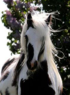 A mare's mane.no soy fan d los caballos bicolores pero este es realmente bonito