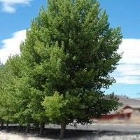 The Siouxland Cottonwood is a fast growing tree that would look great in a stand along a driveway or border, or as an accent tree. - more research required Garden Trees, Trees To Plant, Poplar Tree, Fast Growing Trees, Photosynthesis, Native Plants, Shrubs, Nativity, Landscape