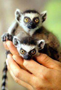 Baby Ring Tailed Lemurs