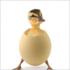 duckling standing while hatching