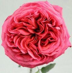 Campanella Hot Pink