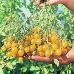 Tomato 'Ildi' - Tomato Seeds - Thompson & Morgan