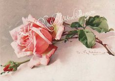 Pink Roses 2 Catherine Klein Print or Download, www.RoseBlossomCottage.com