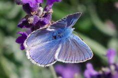 Common Blue Butterfly, Dorset 3 https://rollingharbourlife.wordpress.com/