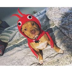 Ok I am extending the contest #pitsofighalloween  1 hour and adding prizes. FIRST place will be announced last & will win a GO PRO! FIVE winners will receive a feature & one month free #Barkbox   IF YOUR PAGE IS PRIVATE I CANNOT YET SEE YOUR ENTRY COMMENT BELOW AND I WILL FOLLOW YOU. THANK YOU for making my Halloween. Your pics are so incredibly adorable!!!  GOOD LUCK FRIENDS photo @caseyy_cakess by pitbullsofinstagram