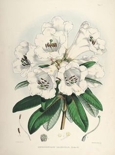 The rhododendrons of Sikkim-Himalaya :. London :Reeve, Benham, and Reeve,1849-51