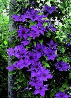 """clematis """"the president"""". Clematis is one of my favourite plants - especially the vivid purple varieties. I love the tendrils. And they love growing in my Illinois garden! Purple Clematis, Clematis Vine, Climbing Clematis, Climbing Roses, Clematis Plants, Autumn Clematis, Purple Flowers, Beautiful Flowers, Perennials"""