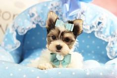 ❤❤❤TEACUP Morkie Droopy FOR SALE!❤❤❤ Don't Miss Out On This Handsome Pup! CALL NOW 954-353-7864 and visit www.teacuppuppiesstore.com   #morkie #teacupmorkie #maltese #yorkie #yorkshire #terrier #mixed #toy #teacup #micro #pocketbook #teacuppuppies #teacuppuppiesstore #tiny #teacuppuppiesforsale #small #little #florida #miami #fortlauderdale #bocaraton #westpalmbeach #southflorida #miamibeach #cute #adorable #puppy #puppiesforsale #puppylove #unique #mini #miniature