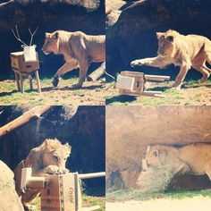 It was for a lion! A young Kamau, African lion, had fun getting into this animal-like box and digging for treasure! Com watch your favorite animals get into some fun enrichment this Saturday for Play the Animal Way at #ZooATL!! #ZooAtlanta #Enrichment #InstaZoo #CatsofInstagram #Lions by zooatl