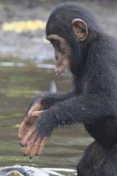780 Best Monkeys images in 2019 | Animaux, Chimpanzee, Monkeys
