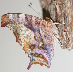 Newly emerged adult of the question mark, Polygonia interrogationis (Fabricius), with wings fully expanded and closed.