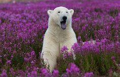Polar Bear and Fireweed
