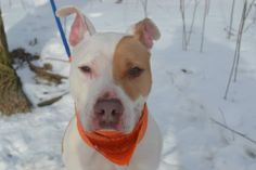 TO BE DESTROYED - 4/7/14  Staten Island Center   SKINNY BOY - A0990701 ***** SAFER: AVERAGE HOME *****  NEUTERED MALE, BROWN / WHITE, PIT BULL MIX, 3 yrs STRAY - STRAY WAIT, NO HOLD Reason STRAY Intake condition NONE Intake Date 01/30/2014, From NY 10301, DueOut Date 02/02/2014,  https://www.facebook.com/photo.php?fbid=750455581633990&set=a.617941078218775.1073741869.152876678058553&type=3&theater