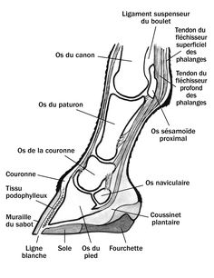 Side view of the foot under the knee with the inner details Vue latérale du pied, sous le genou, montrant les détails internes - Art Of Equitation Horse Anatomy, Animal Anatomy, Horse Information, Vet Assistant, Horse Therapy, Horse Care Tips, Horse Facts, Horse Camp, Horse Posters