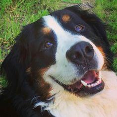 Questa foto di Cleo sorridente è un ottimo rimedio contro la metereopatia la pioggia e l'attesa tra un episodio e l'altro della tua serie preferita. Quando sei giù di morale guarda questa foto e passa tutto!  Buon sabato sera!  Foto di: @lucirouge84  #Cleo #bovarodelbernese #dog #canichepassione #cane #animal #home #garden #country #instagram #instagood #instadog #BauSocial #nature #love #smile #sorriso #lol #gioia #dogs #cani #puppy #dogstagram #instadog #doglovers #dogoftheday #saturday…
