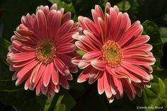 Daisy, Gerber (gerbera)....cheerfulness