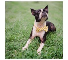 Definitely getting a bow tie for Roger... Seriously considering an outdoor wedding so we can bring the dogs! :)