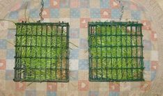 sprout wheat grass( 3-4days) then hang for hens to pick at