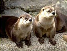 otters in singapore - Google Search