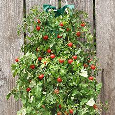 """Organic Hanging Cherry Tomato Garden Kit 8.5""""x21.5""""-363898"""
