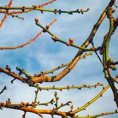 【megurikurumono】さんのInstagramをピンしています。 《「探梅」たんばい Looking for the Japanese plum blossom = Thanbai  梅が咲いていないかと、探しに出かけることを言います。野趣の楽しみをふくんだ、晩冬の季語です✨picは裏庭の梅の古木✨まだ一輪も咲いてはいませんでしたが、蕾がふくらむごとに、紅色を刺したように見えるのは、歳神様が、少しずつ今年の春をご用意しているからかもしれません😊🌸 #俳句 #haiku #花 #flower #blossom #bloom #自然 #nature #景色 #view #landscape #植物 #plants #botanical #樹木 #trees #forest #森林 #日本 #japan #japanese_culture #flowerlovers #naturelovers #季語 #seasons_words #splendid #冬 #winter #庭 #garden》