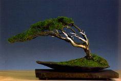 ~ Bonsai (盆栽) Fukinagashi juniperus ~
