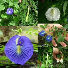 Butterfly Pea Mix Clitoria Ternatea Seeds Mixture of per packet, from this awesome edible and ornamental vine! It contains seeds from single straight Growing Grass From Seed, Grow Butterflies, Butterfly Pea Flower, Small Shrubs, Black Seed, Down South, Fruit Trees, Pretty Cool, Perennials