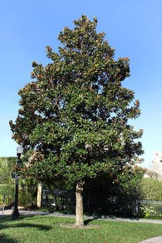 photinia dav palette gardeningexpress
