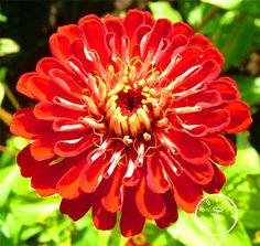 Loss Promotion!24 Colors Zinnia Seeds Perennial Flowering Plants Potted Charming Chinese Flowers Seeds 100 Pcs/Bag