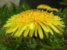 Edible tests - 10 Medicinal Weeds That May Grow In Your Backyard Dandelion Leaves, Dandelion Flower, Dandelions, Edible Plants, Edible Flowers, Healing Herbs, Natural Healing, Natural Cures, Medicinal Weeds