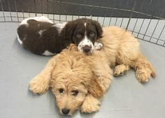 http://ift.tt/2qRuZTL Brittany Spaniel puppy's first day at doggy daycare! He loved it and made friends.