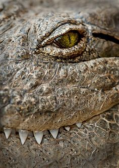 Crocodile close up (It's very hard to explain what passes when I look at reptiles. There's a feeling something like fear strongly rivaled by a feeling of recognition, of family, and then remembering... I am but a human. RUN! :))