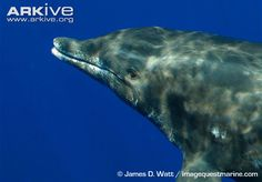 Rough-toothed dolphin close up