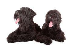 Melnais terjers (Tchiorny Terrier / Black Russian Terrier)