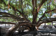 The great banyon tree in Maui. I was there on my birthday & come to find out it's the birthday's tree on the same day! :)