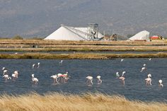 Onverwachte excursies Lesbos   De flamingo's bij de zoutpannen van Kalloni http://lesbos-eiland.webs.com