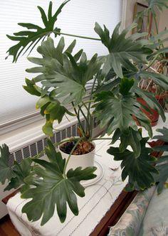 Split Leaf Philodendron!