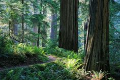 Redwood Trails for Nor Cal.