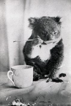 Carles Puigdemont Fan Account — A koala drinks from a spoon, Australia, Animals And Pets, Baby Animals, Funny Animals, Cute Animals, Baby Giraffes, Wild Animals, Coala Tattoo, Beautiful Creatures, Animals Beautiful