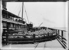 008744PD: Shipping sheep at Carnarvon, 1911 http://encore.slwa.wa.gov.au/iii/encore/record/C__Rb2940930?lang=eng