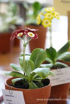 John White was awarded first prize for these two lovely auriculas - Primula auricula 'Spring Meadows' and in the foreground, Primula auricula 'Trafalgar Square'. Primula Auricula, Trafalgar Square, Red Flowers, Pumpkin, Stems, Spring, Garden, Plants, Leaves