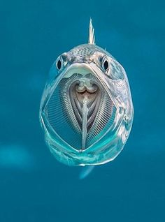 """A See-Through Striped Mackerel Via Underwater Photographer Alex Mustard. """"Striped mackerel are filter feeders opening their cavernous mouths as they swim and sieving zooplankton from. Beautiful Sea Creatures, Deep Sea Creatures, Animals Beautiful, Underwater Creatures, Underwater Life, Underwater Animals, Fauna Marina, Tier Fotos, Marine Biology"""