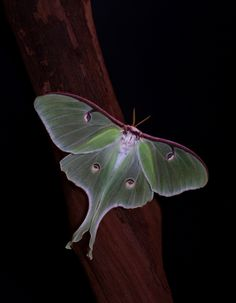 Luna Moth: Actias luna - Flickr - Photo Sharing!
