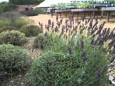 To keep them really under control don't be frightened to chop them back to just immediately after flowering. Overwintering, Old Rock, New Growth, Edible Flowers, Garden Plants, Lavender, Rocks, Gardens, Herbs